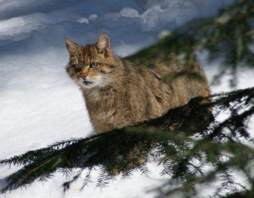 В Приморье дерзкого лесного кота, который задавил 14 кур, подлечат и выпустят на свободу