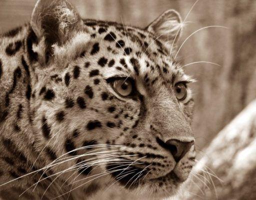 В пригороде Владивостока родился леопард. Его отдали на воспитание собаке