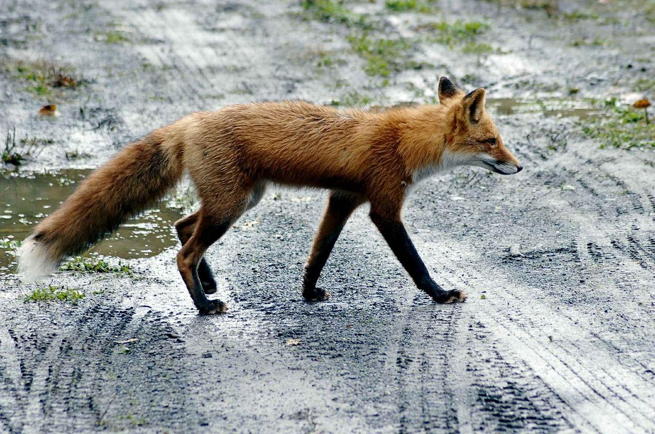 В Приморье доминантная самка красного волка оказалась рекордсменкой по прыжкам в высоту