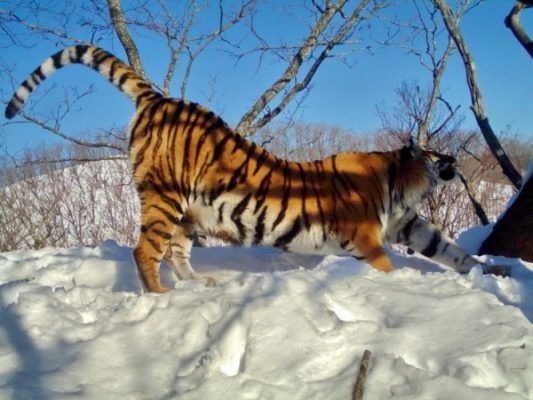 Милые кадры: в Приморье семья тигров поселилась вблизи фотоловушек «Земли леопарда»