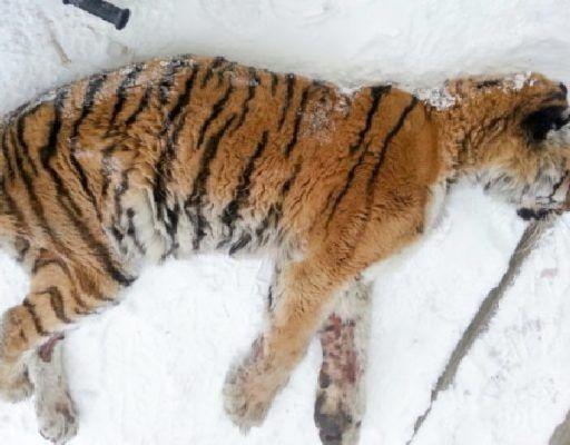 В Приморье из Хабаровского края доставили сильно истощённую тигрицу