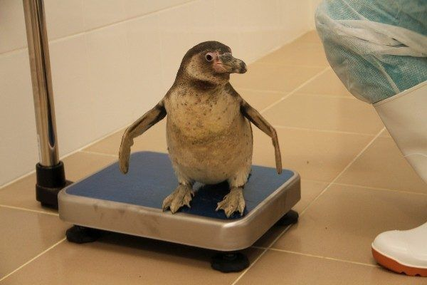 В Приморском океанариуме поселились пингвины