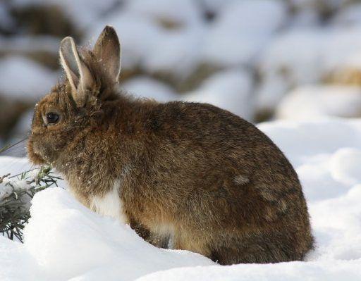 В Приморье козёл Обама сдружился с кроликами и курицей