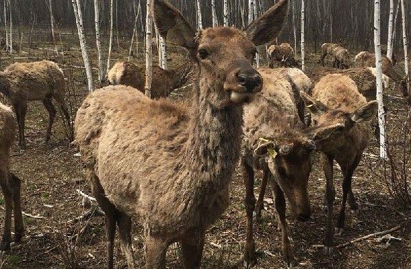 Ещё 75 маралов завезли в «Заповедную долину» Приморья
