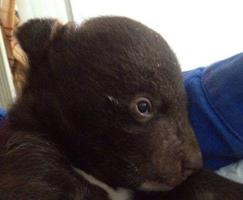 В Приморье к дверям Охотнадзора подбросили месячного медвежонка