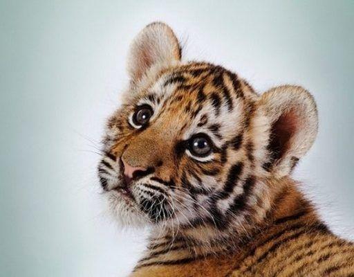 В Приморье алабай подружился с крымским тигрёнком