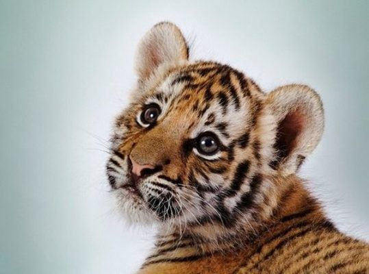 В самом центре Владивостока выгуляли амурского тигрёнка