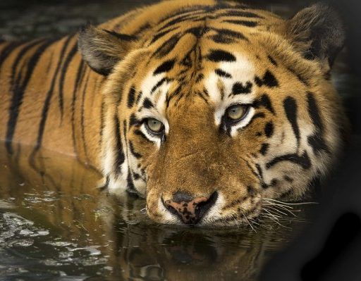 В Приморье амурский тигр набросился на стрелявшего в него охотника