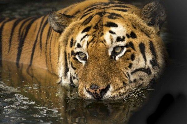 В Приморье тигры утащили собак с погранзаставы