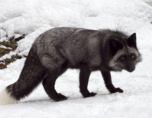 Во Владивостоке из зоопарка сбежала чёрная лиса