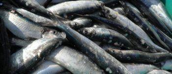 Рыба, селедка, сельдь
