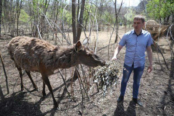 На уникальной ферме маралов в Приморье будет прибавление