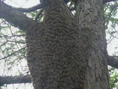 «Будьте осторожны»: огромный пчелиный рой ужаснул жителей Владивостока