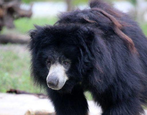 Купание гималайского медведя записали на видео в Приморском сафари-парке