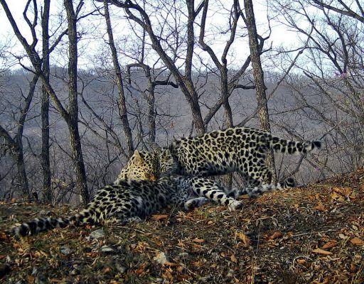 Впервые на фото удалось запечатлеть кормящую самку дальневосточного леопарда