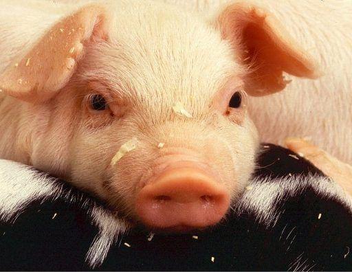 Очередные случаи заражения африканской чумой свиней выявили в соседней с Приморьем китайской провинции