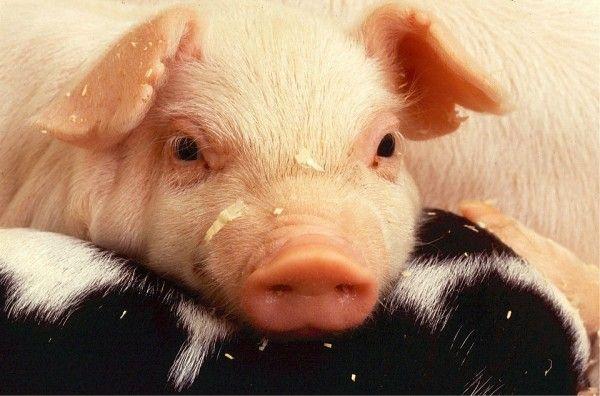 Дефицита свинины из-за вспышки ящура мы не ожидаем — власти Приморья