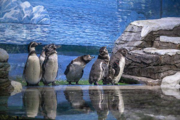 Линька началась у пингвинов в Приморском океанариуме