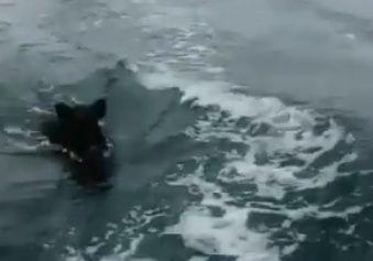 Плавающий в море кабан удивил жителей Приморья