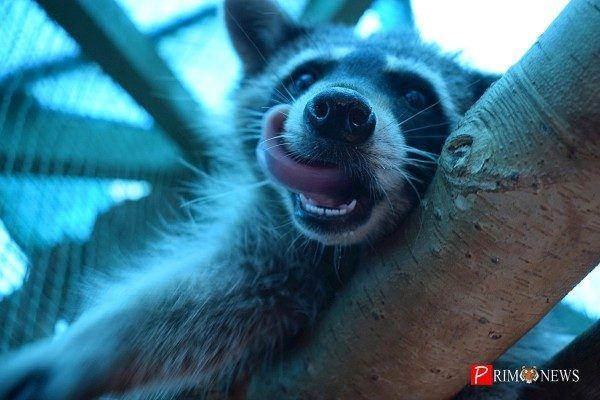 «Владхлеб» накормил медведей и енотов сгущёнкой в зоопарке «Садгород» во Владивостоке