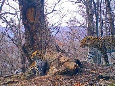 В Приморье котята леопарда узнали, как пахнут ёж и барсук