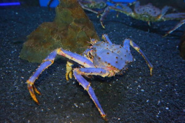 Уже 15 лет исполнилось синему крабу, который обитает в Приморском океанариуме