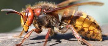 Шершень, пчела, оса, насекомое