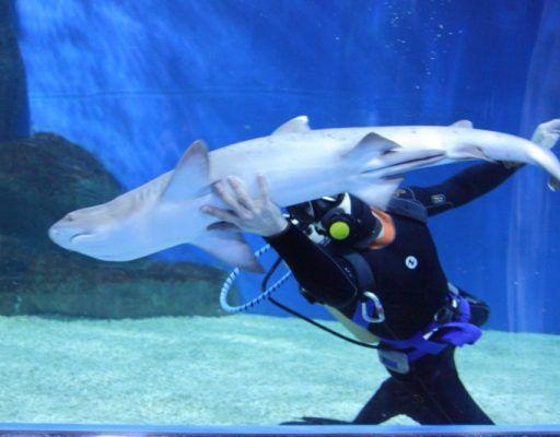 Беспощадных убийц представили в экспозиции «Мир акул» Приморского океанариума
