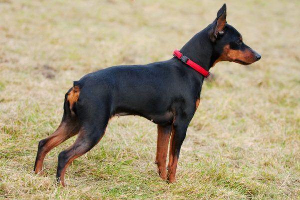 Наиболее отважные и самостоятельные породы собак