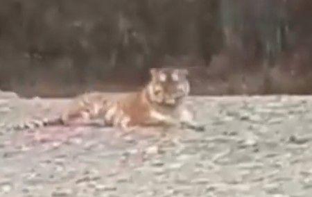 Невозмутимый упитанный тигр поразил приморцев
