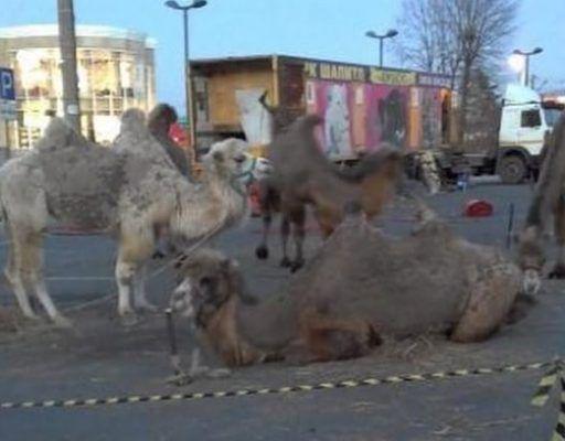 Приморцы пожалели верблюдов, стоящих на морозе в Находке
