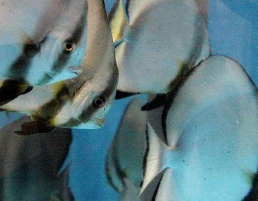 Рыбы — летучие мыши поселились в Приморском океанариуме