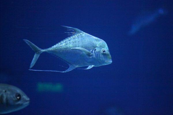 Рыба-философ поселилась в Приморском океанариуме