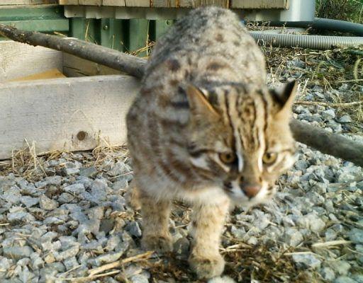 Дальневосточный лесной кот-подкидыш из Приморья оказался даже более агрессивным, чем тигры