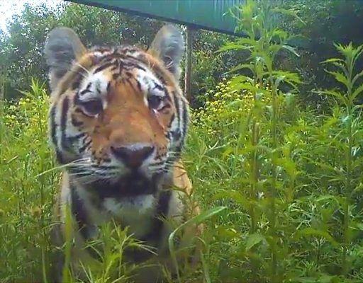 Амурский тигр из Приморья в ходе «командировки» в Китай убил барана