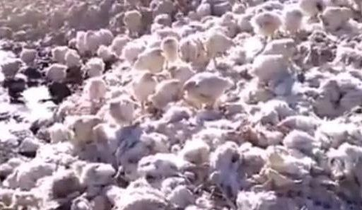 «Ужас»: в Приморье на улицу выбрасывают сотни полуживых куриц