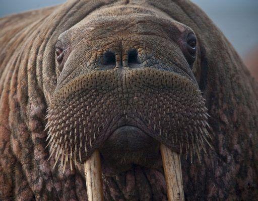 Экологи нашли в «китовой тюрьме» в Приморье ещё и годовалых моржей
