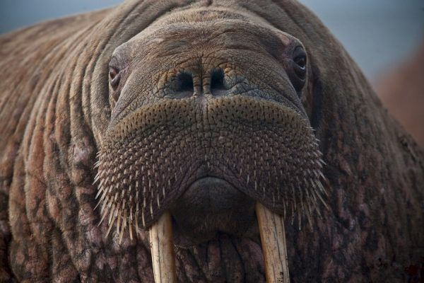 В Приморье оштрафовали мужчину, у которого нашли 35 бивней моржа