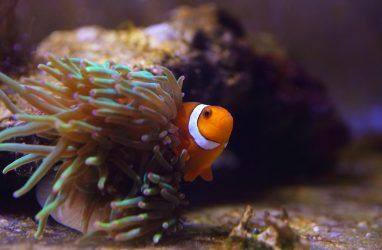 В Приморском океанариуме клоуны стали соперничать за актиний
