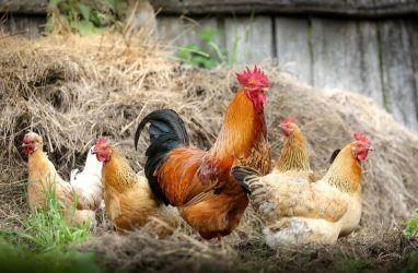 Любителей куриных сердец в Приморье предупредили об опасности