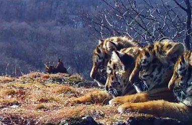 В Приморье удалось запечатлеть сразу четверых тигрят