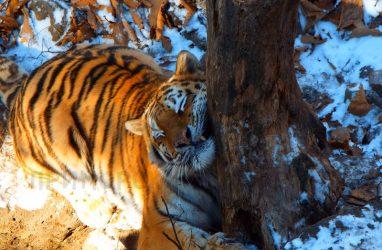 Сестру тигра Амура не стали перевозить в Казахстан