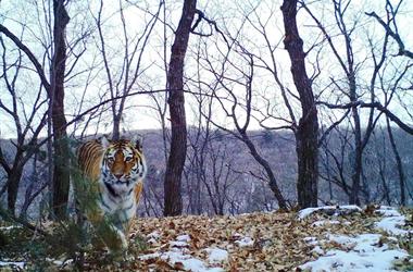 Амурские тигры сделали «селфи» на «Земле леопарда» в Приморье