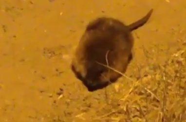 Жительница Уссурийска удивилась, встретив ондатру рядом с дорогой