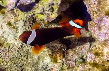 Томатные клоуны Приморского океанариума приступили к выхаживанию потомства