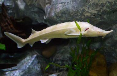 В Приморском океанариуме поселились рыбы с самой дорогой в мире икрой