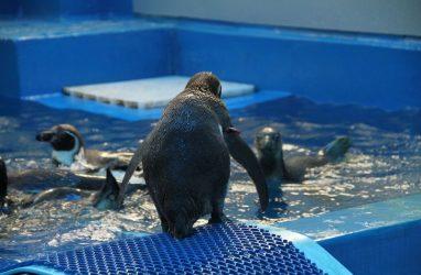 В Приморском океанариуме будут жить новые пингвины