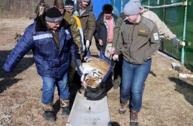 В Приморье конфликтному тигру подлечили зубы