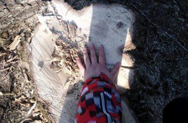 В Приморье более 1300 деревьев вырубили неподалеку от границы биосферного заповедника