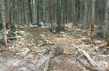 «Чёрный лесоруб» в Приморье получил реальный срок